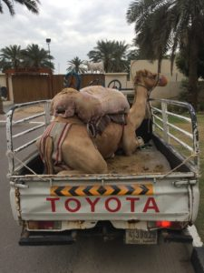 Camel in the back of a Toyota pickup.